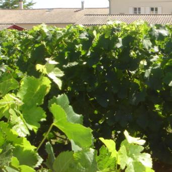 gestion-fertilisation-vigne