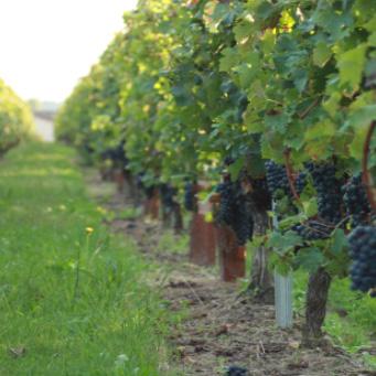 gestion-irrigation-vigne